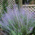 Perennial Planters_Perovskia