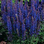 Perennial Planters_Blue Salvia