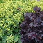 Perennial Planters_Lady's Mantle and Coral Bells